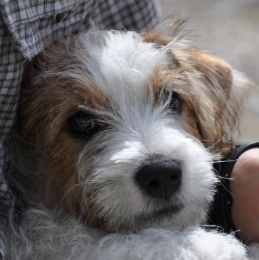 I parassiti dei cani for Jack russel pelo lungo