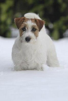 Granlasco Golden Dream - Jack Russell Terrier Granlasco