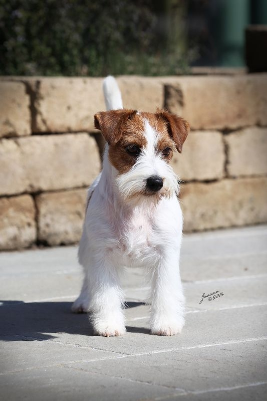 Multi JCH & IT, RI, THAI, HR, LUX, MC, ES CH Granlasco A Beautiful Mind - Jack Russell Terrier Granlasco