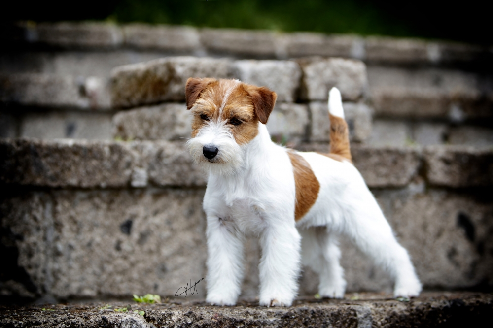 Multi Ch, GCH Granlasco Belamax a Beautiful Baby - Jack Russell Terrier Granlasco