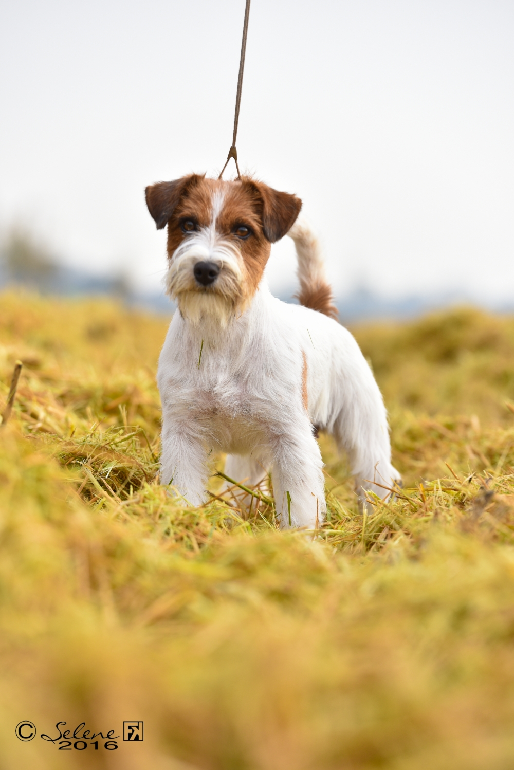 Multi JR CH, Multi CH, Grand CH,Biss Granlasco Simply a Beauty aka SIM - Jack Russell Terrier Granlasco
