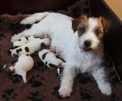 Cuccioli loi a pelo ruvido nati il 2 giugno 2012 for Jack russel pelo lungo