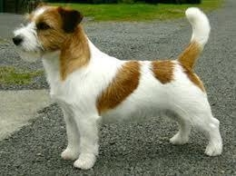 History - Jack Russell Terrier Granlasco