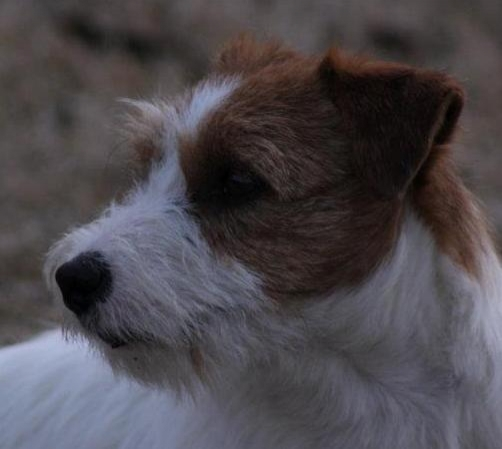 Granlasco Crazy Dice - Jack Russell Terrier Granlasco