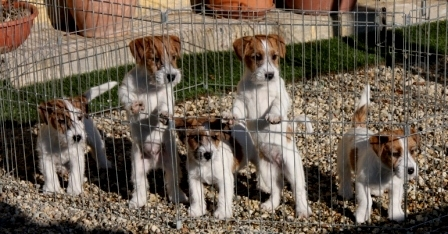 Litter born on 24th of October, 2014 - Jack Russell Terrier Granlasco