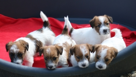 Litter born on 25th of March, 2015 - Jack Russell Terrier Granlasco