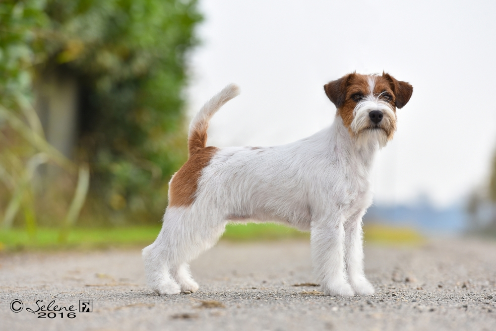 The Standard of Jack Russell Terrier - Jack Russell Terrier Granlasco